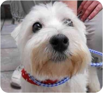 Westie, West Highland White Terrier Dog for adoption in Frisco, Texas - Kaelee