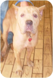Cane Corso Dog for adoption in Port Jefferson Station, New York - Gina