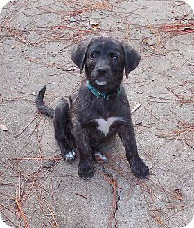 Black Mouth Cur Mix Puppy for adoption in Ormond Beach, Florida - Benny