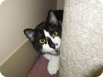 Domestic Shorthair Cat for adoption in Medina, Ohio - Rascal