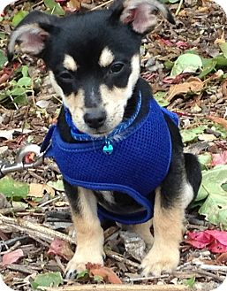 Chihuahua/Miniature Pinscher Mix Puppy for adoption in Poway, California - CHICO
