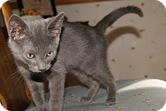 Russian Blue Kitten for adoption in Trevose, Pennsylvania - Wuver