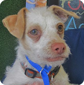 Jack Russell Terrier/Terrier (Unknown Type, Small) Mix Puppy for adoption in San Marcos, California - Squiggy