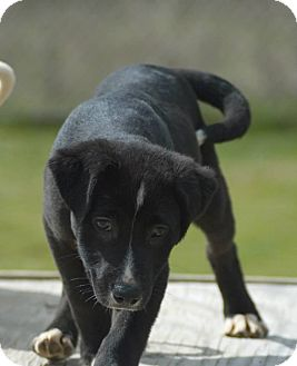 Pit Bull Terrier Mix Puppy for adoption in Newington, Connecticut - Ollie