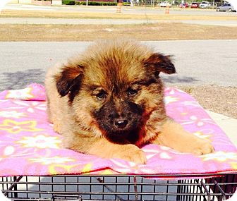 Chow Chow/Shepherd (Unknown Type) Mix Puppy for adoption in Dillon, South Carolina - Betsy