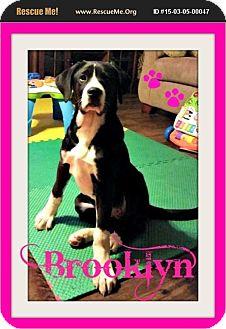 Great Dane/Great Pyrenees Mix Puppy for adoption in bullard, Texas - Brooklyn