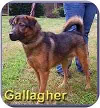 German Shepherd Dog Mix Dog for adoption in Aldie, Virginia - Gallagher