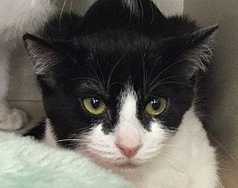 Domestic Shorthair Cat for adoption in Burbank, California - Millie