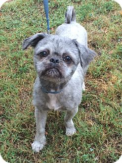 Shih Tzu Mix Dog for adoption in Germantown, Tennessee - Cherokee
