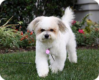 Shih Tzu/Bichon Frise Mix Dog for adoption in Newport Beach, California - PUTNAM