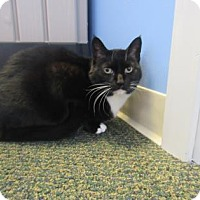 Domestic Shorthair Cat for adoption in Northfield, Minnesota - Abigail
