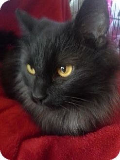 Domestic Longhair Cat for adoption in Columbus, Ohio - Mystery