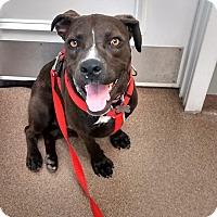 Adopt A Pet :: Rogue - richmond, VA