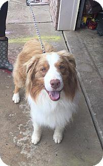 Australian Shepherd Mix Dog for adoption in Hershey, Pennsylvania - Sonny