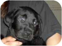 Labrador Retriever Puppy for adoption in Ephrata, Pennsylvania - Frisco