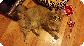 Domestic Mediumhair Cat for adoption in Tega Cay, South Carolina - Azalea