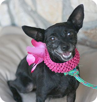 Rat Terrier Mix Dog for adoption in Canoga Park, California - Sasha