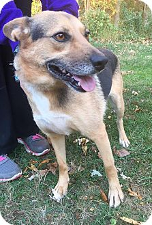 German Shepherd Dog Mix Dog for adoption in WESTMINSTER, Maryland - Katie Ann