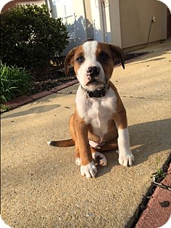 Boxer Mix Puppy for adoption in Brattleboro, Vermont - Cooper~Adopted!