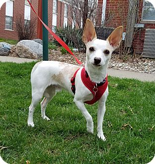 Chihuahua/Rat Terrier Mix Dog for adoption in West Bloomfield, Michigan - Sunny - Adopted!