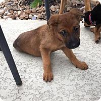 Adopt A Pet :: Noki - San Antonio, TX