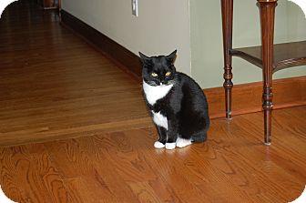 Domestic Shorthair Cat for adoption in Monroe, North Carolina - Callie