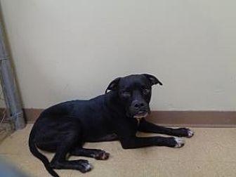 Terrier (Unknown Type, Medium)/Boxer Mix Dog for adoption in St Augustine, Florida - Rocky