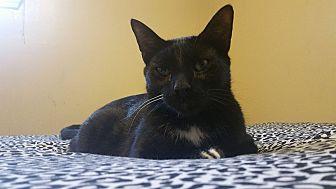 Domestic Shorthair Cat for adoption in Warren, Michigan - Toes