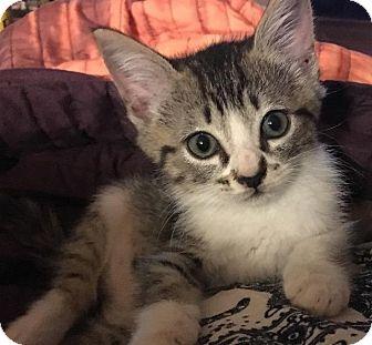 Domestic Shorthair Kitten for adoption in Spring, Texas - Casper
