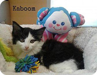 Domestic Shorthair Kitten for adoption in Harrisville, West Virginia - Kaboom