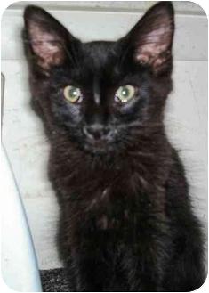 Maine Coon Kitten for adoption in Arlington, Virginia - Cosmo