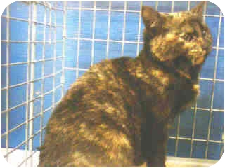 Calico Kitten for adoption in New York, New York - Delicious