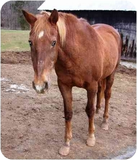 Standardbred Mix for adoption in Old Fort, North Carolina - Mosely