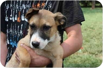 Boxer/German Shepherd Dog Mix Puppy for adoption in Prince William County, Virginia - Randy