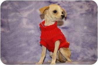 Chihuahua/Chihuahua Mix Puppy for adoption in Broomfield, Colorado - Aquarius