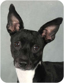 Rat Terrier Mix Dog for adoption in Chicago, Illinois - Candi