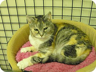 Calico Cat for adoption in Mission, British Columbia - Issabelle
