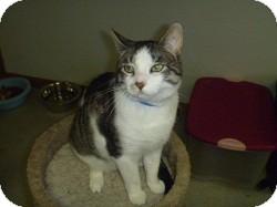 Domestic Shorthair Cat for adoption in Hamburg, New York - Elliot