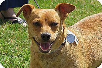 Miniature Pinscher/Beagle Mix Dog for adoption in Santa Monica, California - Jojo