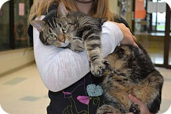 Domestic Shorthair Cat for adoption in Elyria, Ohio - Jack