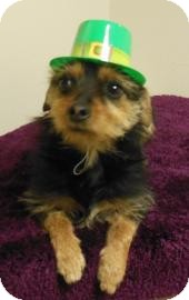 Yorkie, Yorkshire Terrier Mix Dog for adoption in Gary, Indiana - Mattie