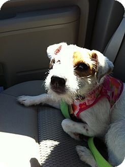 Jack Russell Terrier Mix Dog for adoption in Dallas/Ft. Worth, Texas - Sassy in Wichita Falls