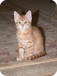 Domestic Shorthair Kitten for adoption in Tampa, Florida - Princess