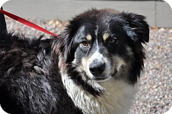 Australian Shepherd Dog for adoption in Minneapolis, Minnesota - Diamond