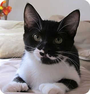 Hemingway/Polydactyl Kitten for adoption in Seminole, Florida - Jolie