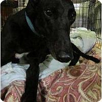 Adopt A Pet :: Galley (Dk Galypso's Boy) - Chagrin Falls, OH
