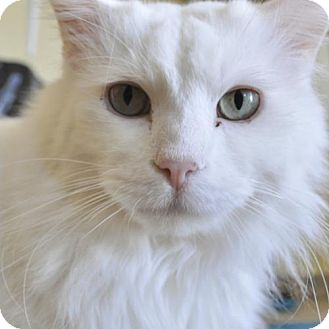 Domestic Longhair Cat for adoption in North Hollywood, California - Blizzard