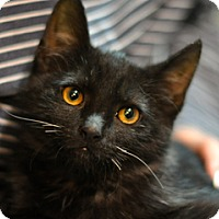 Domestic Shorthair Cat for adoption in Great Falls, Montana - Eddie Money
