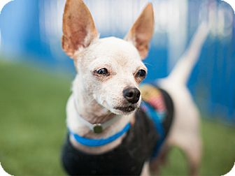 Chihuahua Mix Dog for adoption in Hawthorne, California - Tiny
