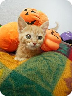 Domestic Shorthair Kitten for adoption in China, Michigan - Pumpkin